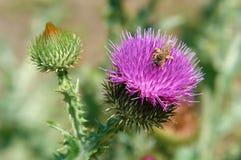 Abeja en una flor de un cardo Fotografía de archivo libre de regalías