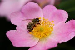 Abeja en una flor de una flor rosada Fotos de archivo libres de regalías