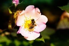 Abeja en una flor de una flor rosada Imagen de archivo libre de regalías