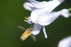 Abeja en una flor del Agapanthus Foto de archivo