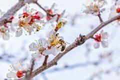 Abeja en una flor del albaricoquero, macro Imágenes de archivo libres de regalías