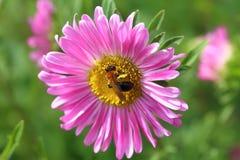 Abeja en una flor del aster Imagen de archivo