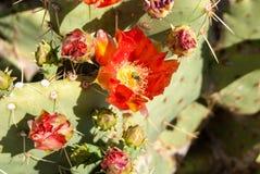 Abeja en una flor del cactus Imágenes de archivo libres de regalías
