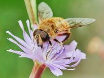 Abeja en una flor del campo Foto de archivo