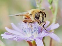Abeja en una flor del campo Fotos de archivo libres de regalías