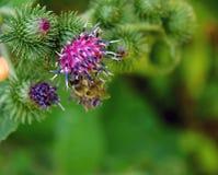 Abeja en una flor del cardo Fotografía de archivo libre de regalías
