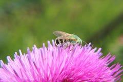 Abeja en una flor del cardo Imagenes de archivo