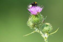 Abeja en una flor del cardo Fotografía de archivo