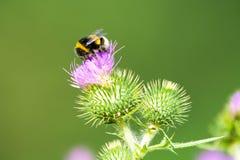Abeja en una flor del cardo Fotos de archivo