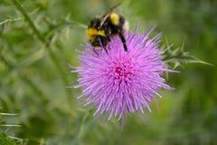 Abeja en una flor del cardo Foto de archivo