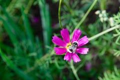 Abeja en una flor del cosmos Imagen de archivo libre de regalías