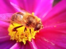 Abeja en una flor del cosmos Imagenes de archivo