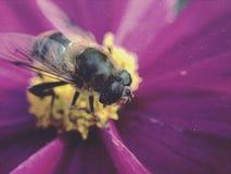 Abeja en una flor del cosmos Fotografía de archivo