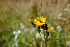 Abeja en una flor del diente de león Fotografía de archivo