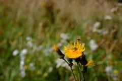 Abeja en una flor del diente de león Fotografía de archivo libre de regalías
