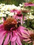Abeja en una flor del echinacea Fotos de archivo