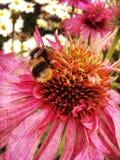 Abeja en una flor del echinacea Imágenes de archivo libres de regalías