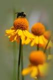 Abeja en una flor del helenio Fotografía de archivo