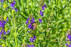 Abeja en una flor del Hisopo en un jardín del verano, macro Imagenes de archivo