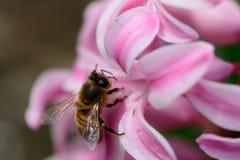 Abeja en una flor del jacinto Imagenes de archivo