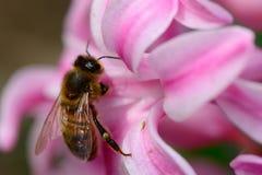 Abeja en una flor del jacinto Foto de archivo