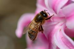 Abeja en una flor del jacinto Foto de archivo libre de regalías