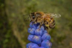 Abeja en una flor del jacinto del globo Imagenes de archivo