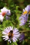 Abeja en una flor del jardín Imagen de archivo