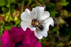 Abeja en una flor del jardín Fotografía de archivo libre de regalías