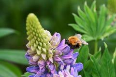 Abeja en una flor del lupine Imagen de archivo libre de regalías