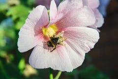 Abeja en una flor del malva Fotos de archivo