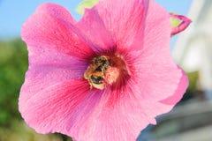 Abeja en una flor del malva Fotos de archivo libres de regalías