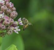 Abeja en una flor del Milkweed Foto de archivo