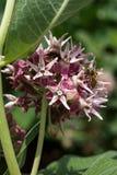 Abeja en una flor del milkweed de pantano Imágenes de archivo libres de regalías