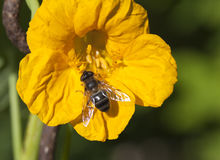 Abeja en una flor del nastrution Fotografía de archivo libre de regalías