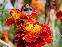 Abeja en una flor del primer de un clavel Fotografía de archivo libre de regalías