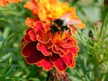 Abeja en una flor del primer de un clavel Foto de archivo