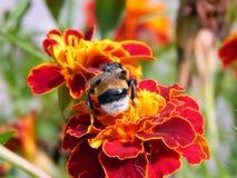 Abeja en una flor del primer de un clavel Fotos de archivo