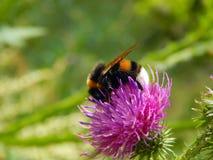 Abeja en una flor del primer del cardo Imagen de archivo
