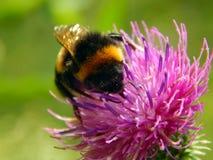 Abeja en una flor del primer del cardo Fotos de archivo