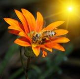 Abeja en una flor en el sol Imagen de archivo libre de regalías