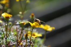 Abeja en una flor en el sol Imágenes de archivo libres de regalías