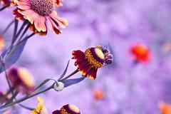 Abeja en una flor en fondo púrpura Fotografía de archivo