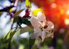 Abeja en una flor en la puesta del sol Imagenes de archivo