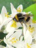 Abeja en una flor en los jardines botánicos nacionales de Dublín Imagenes de archivo