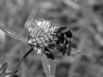 Abeja en una flor en una foto blanco y negro Fotos de archivo libres de regalías