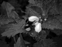 Abeja en una flor en una foto blanco y negro Fotografía de archivo