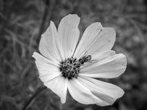Abeja en una flor en una foto blanco y negro Imagen de archivo