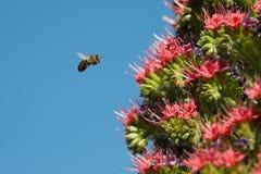 Abeja en una flor en vuelo Fotografía de archivo