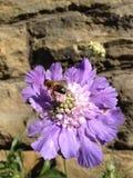 Abeja en una flor escabiosa Foto de archivo